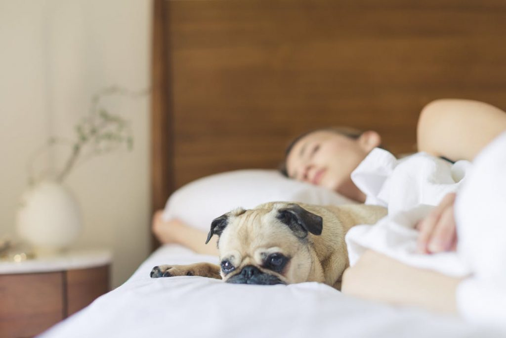 An image showing a sleep woman on a white bed with a resting pug dog